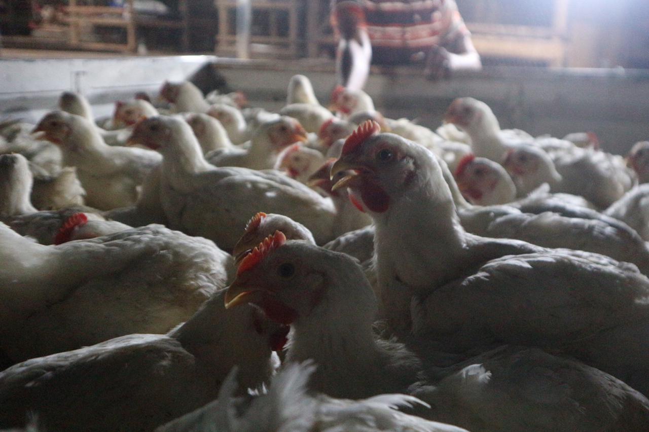 ayam di pasar